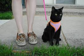 leash train a cat
